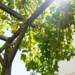 Pergola grapevine giving car shade