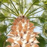 Fan palm natural parasol