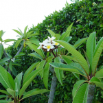 Sweet-smelling frangipani