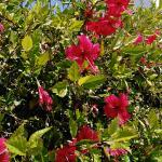 Hibiscus hedges