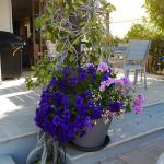 Patio pot with velvety purple petunias