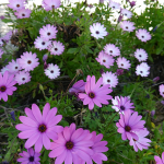 Spring-flowering Michaelmas Daisies