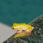 Tiny frog with a loud chirrup