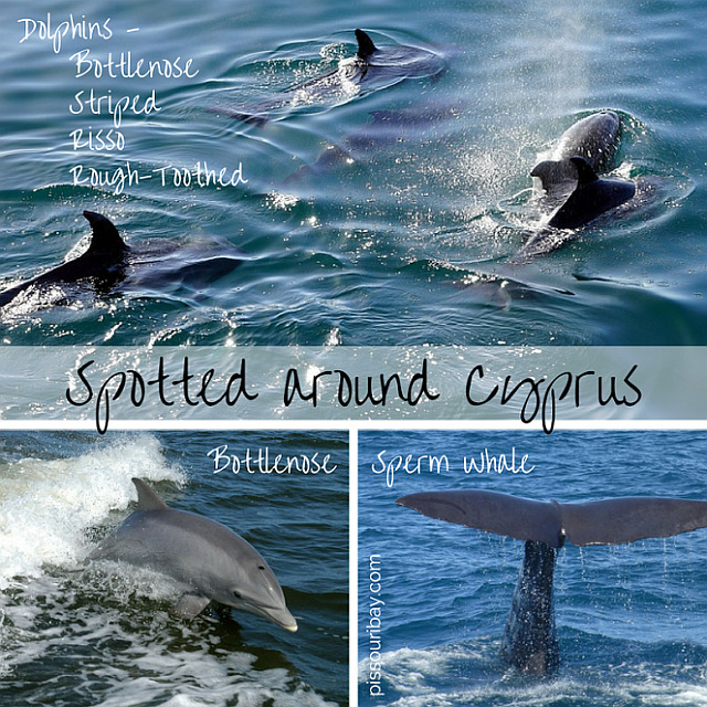 Dolphins around Cyprus