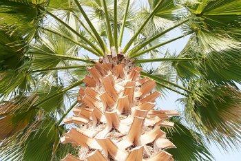 Fan palm natural parasol