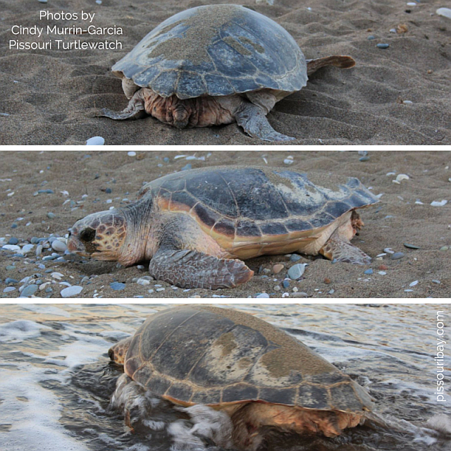 Turtle nesting on Pissouri beach
