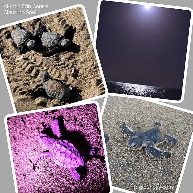 Baby turtle hatchlings day and night