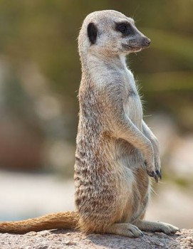 Paphos Zoo meerkat